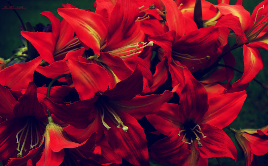flamin___hot_red_flowers_by_Esther_Rose