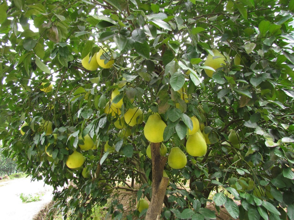 0751 - Near Yangshuo - Pomelo tree