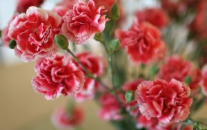 484597__red-carnations_p