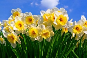 Narcissus-IceFollies_2123rf