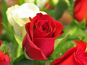 Valentine Rose Hd Wallpapers3