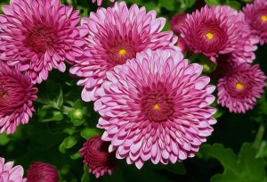the-purple-chrysanthemum-flower-lanjee-chee
