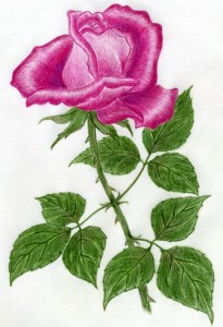 how-to-draw-a-rose19_roze_easy-drawings-and-sketches.com_foto