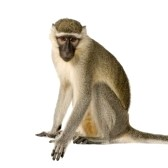3055525-vervet-monkey--chlorocebus-pygerythrus-in-front-of-a-white-background