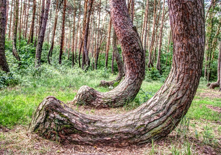 crooked_forest_by_dominik_sekowski_wallpaper-other