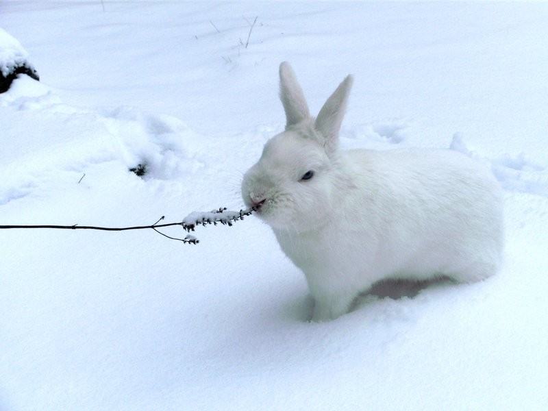 Snow_Rabbit_by_GoLD_inc