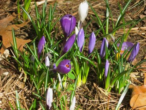 crocuses-in-bloom